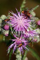 Insekten an Diestelgewächs