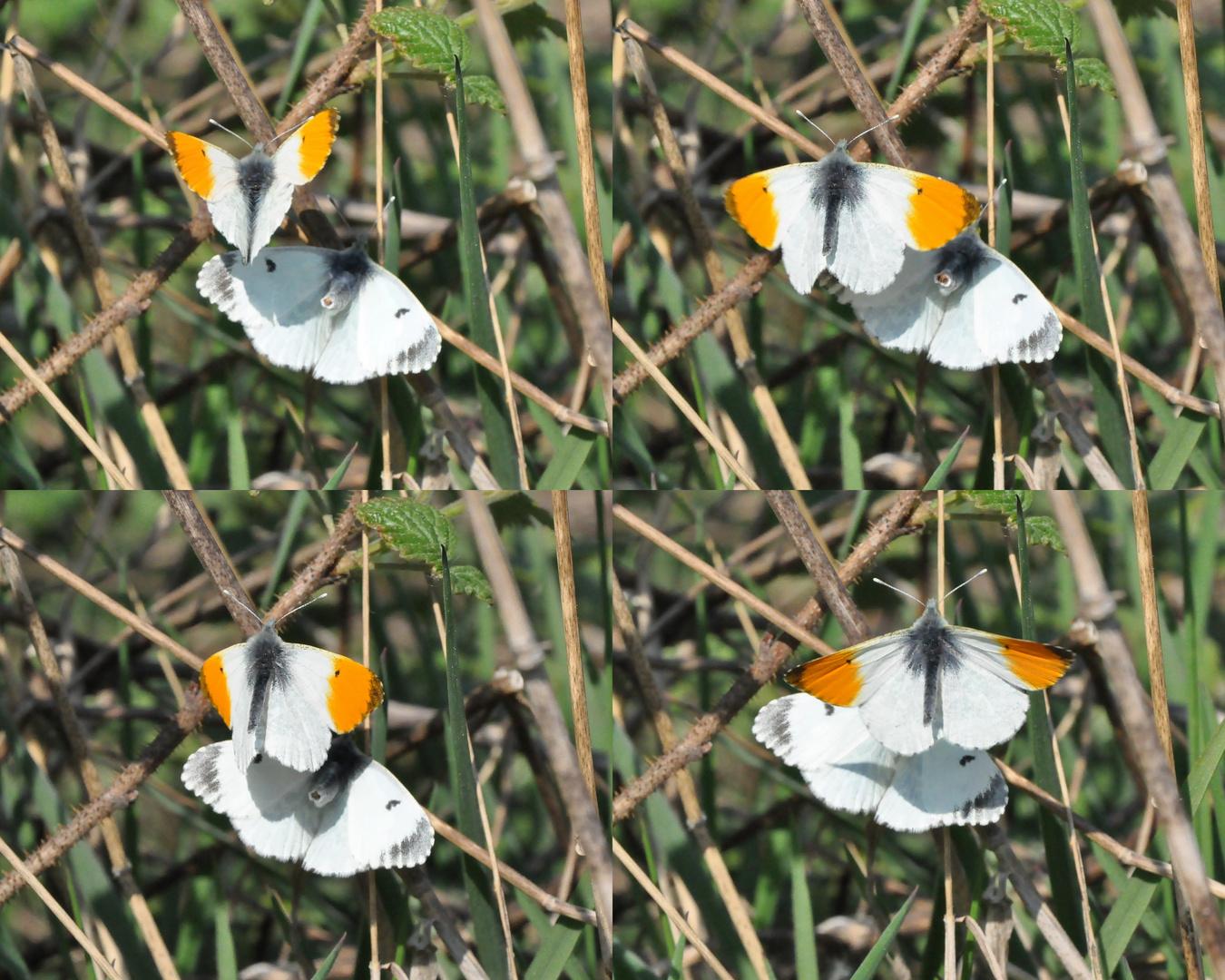 Insekten-Paarung 19: Schmetterlinge