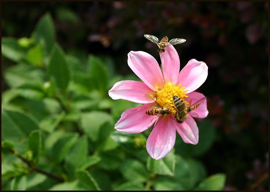Insektendahlie ;-)