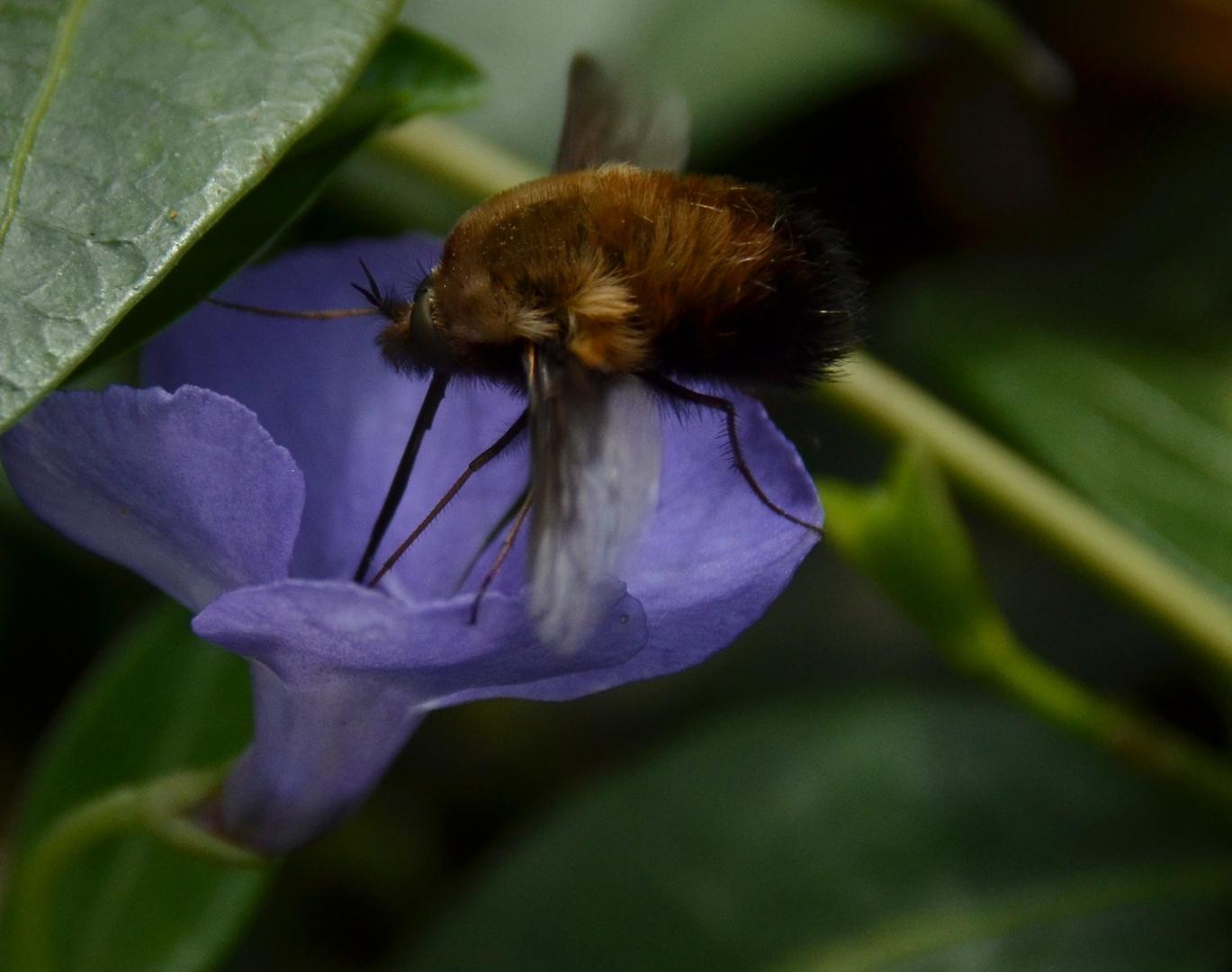 Insekten,Wollschweber, langer Rüssel und Fell
