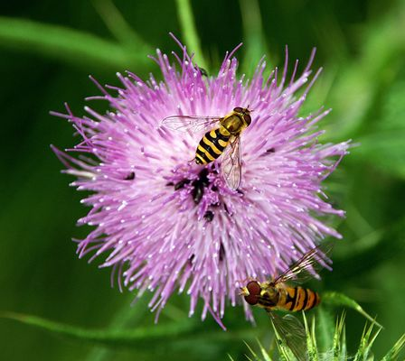 Insektus Blütus