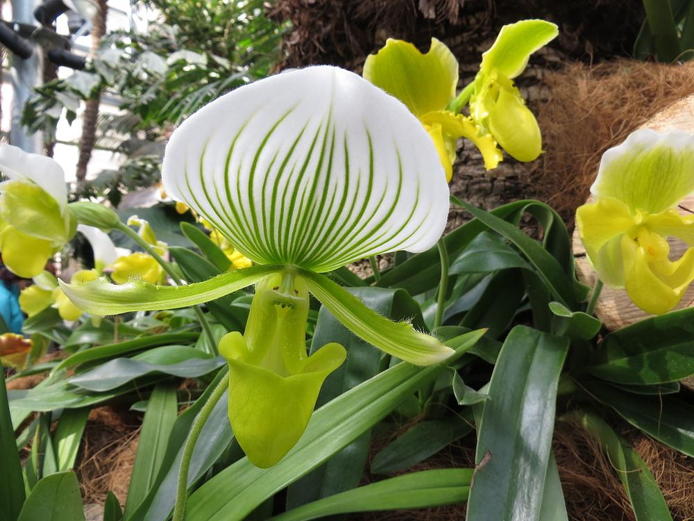 Insel Mainau / Frauenschuh Orchidee 2