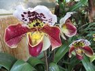 Insel Mainau / Frauenschuh Orchideen 4