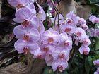 Insel Mainau / Orchideen 1