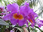 Insel Mainau / Orchideen 2