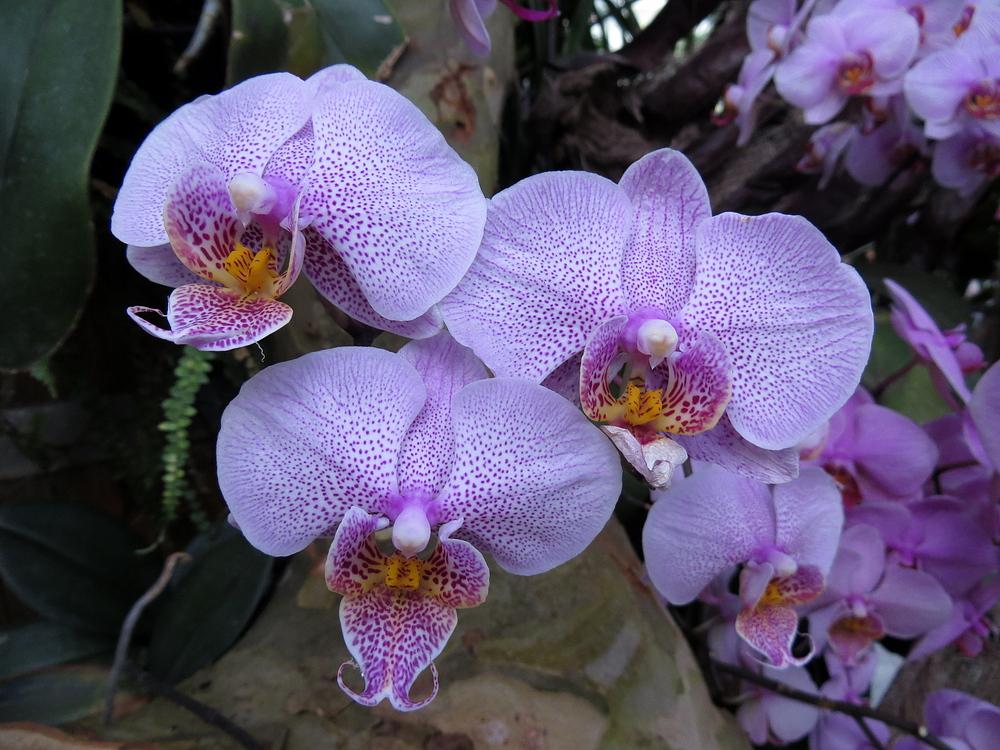 Insel Mainau / Orchideen 3