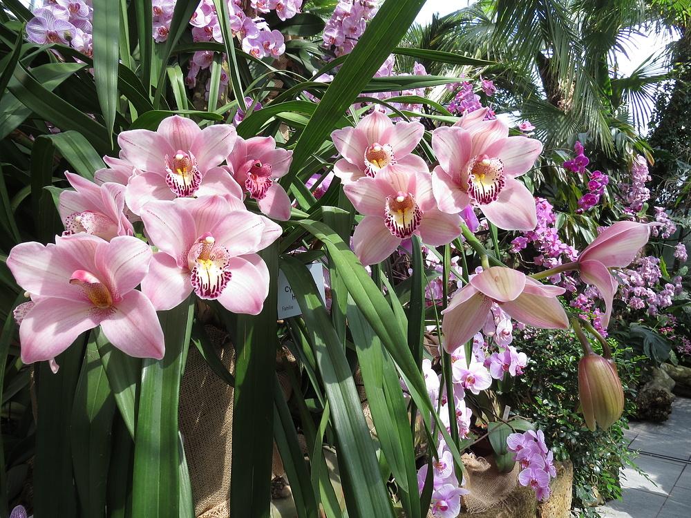 Insel Mainau / Orchideen 6