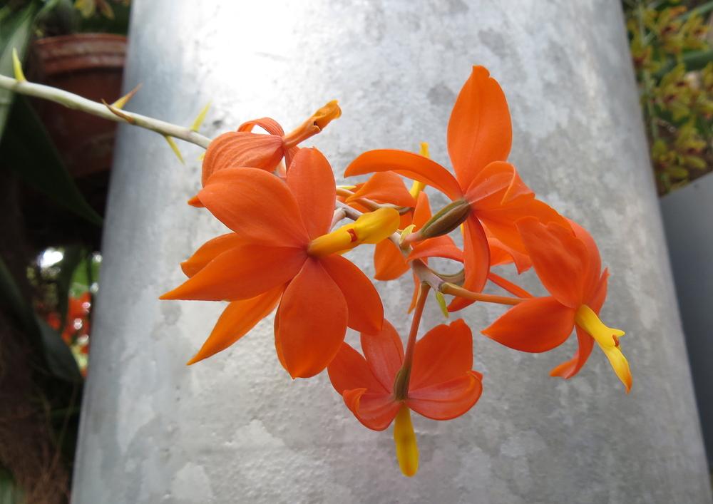 Insel Mainau / Orchideen 7