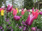 Insel Mainau / Tulpen 1