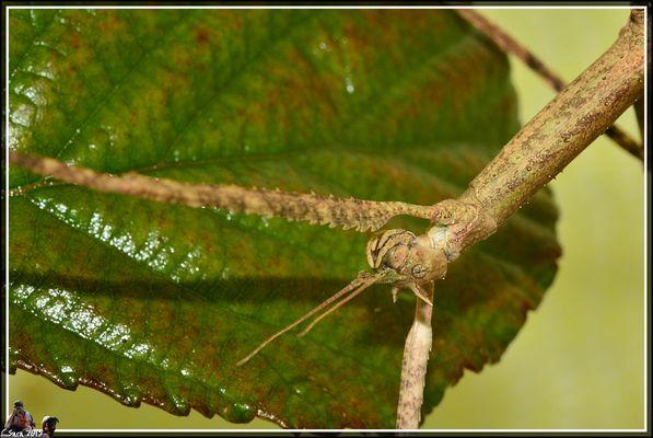insetto stecco