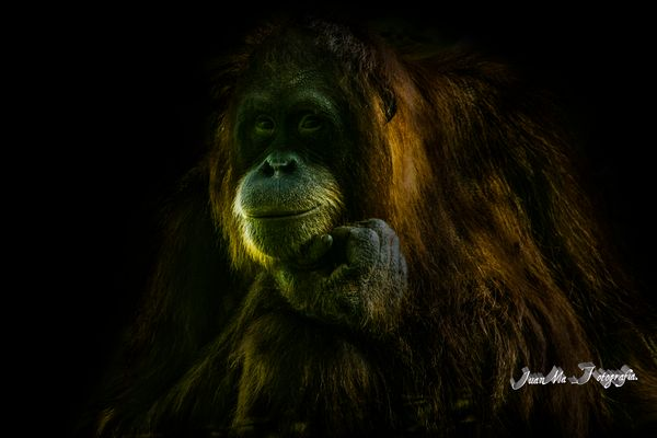 Inteligencia animal: Orangután.