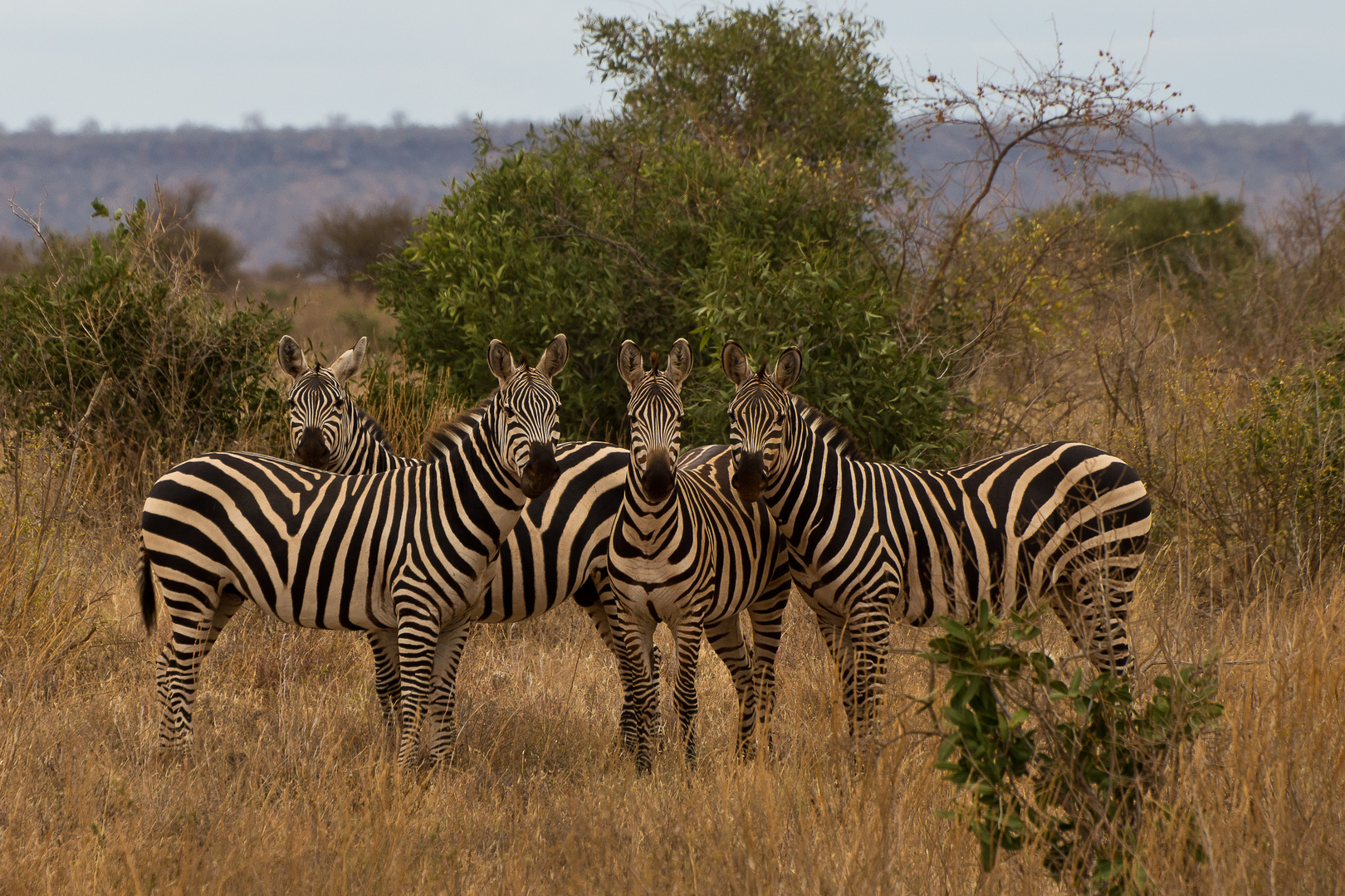 interessierte Zebras