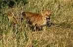 ....International Lion Day....