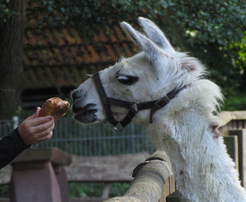 Inti lebt im Tierpark Salzwedel