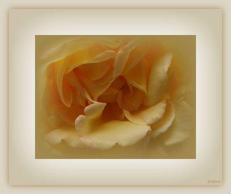 Intimité d'une rose