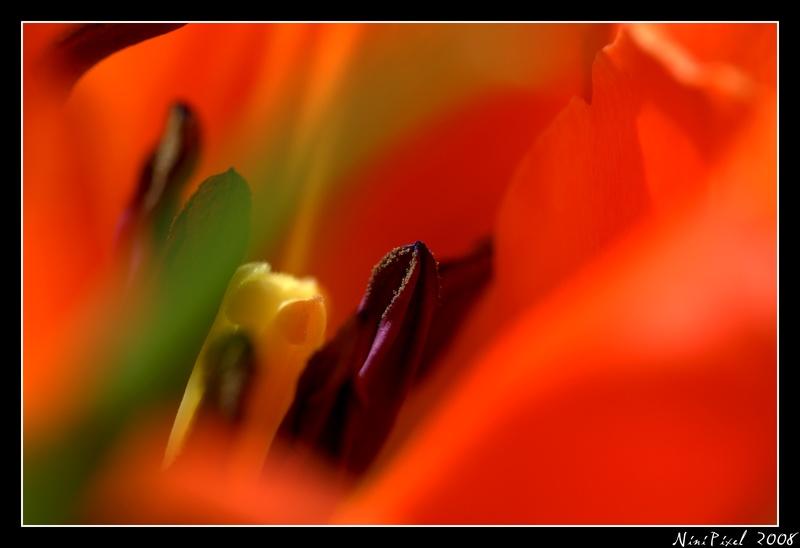 Intimité tulipienne