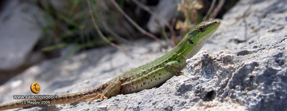 Intraprendente lucertola nei terreni costieri d'Otrando (Le)