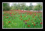 Invasion der Tulpen