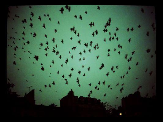 invasions de pigeons.
