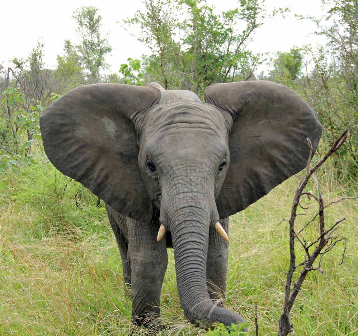 Inyati - junger Elefant