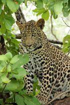 Inyati - Leopard