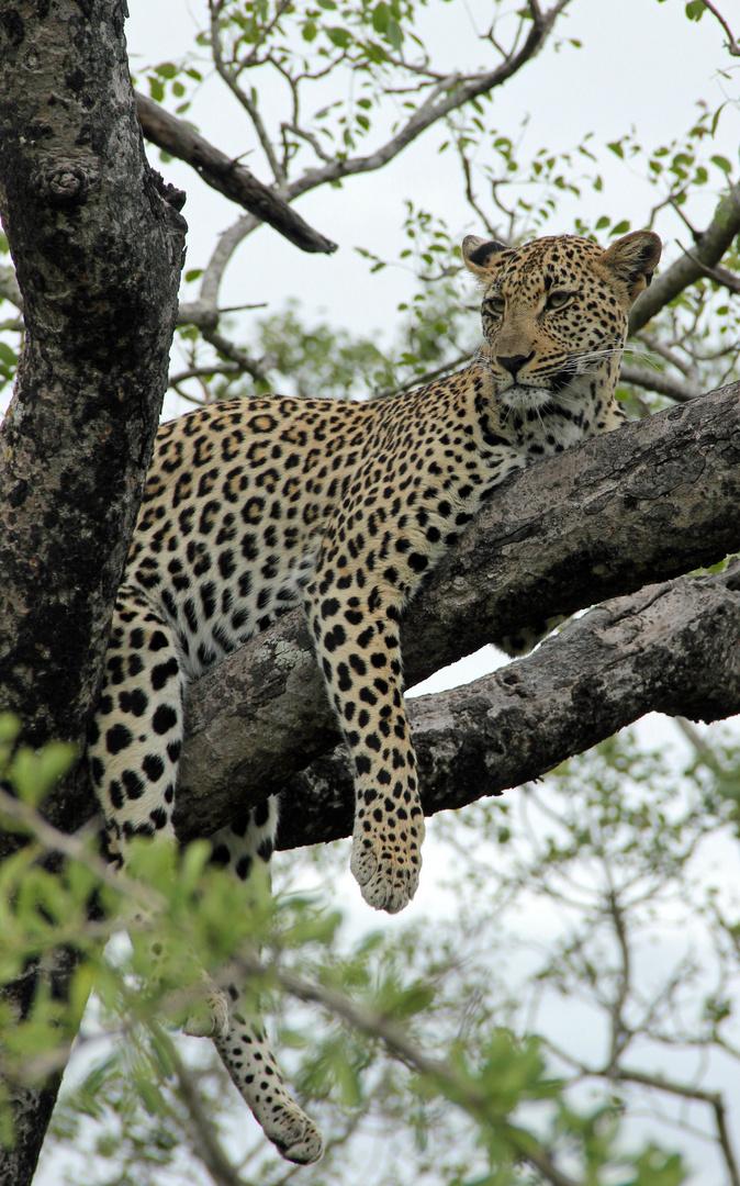 Inyati - Leopardenweibchen