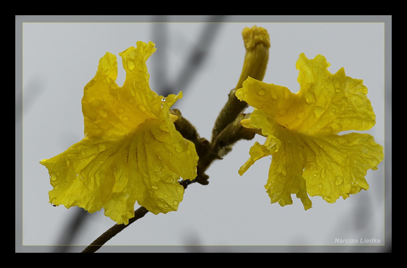 Ipê Amarelo I