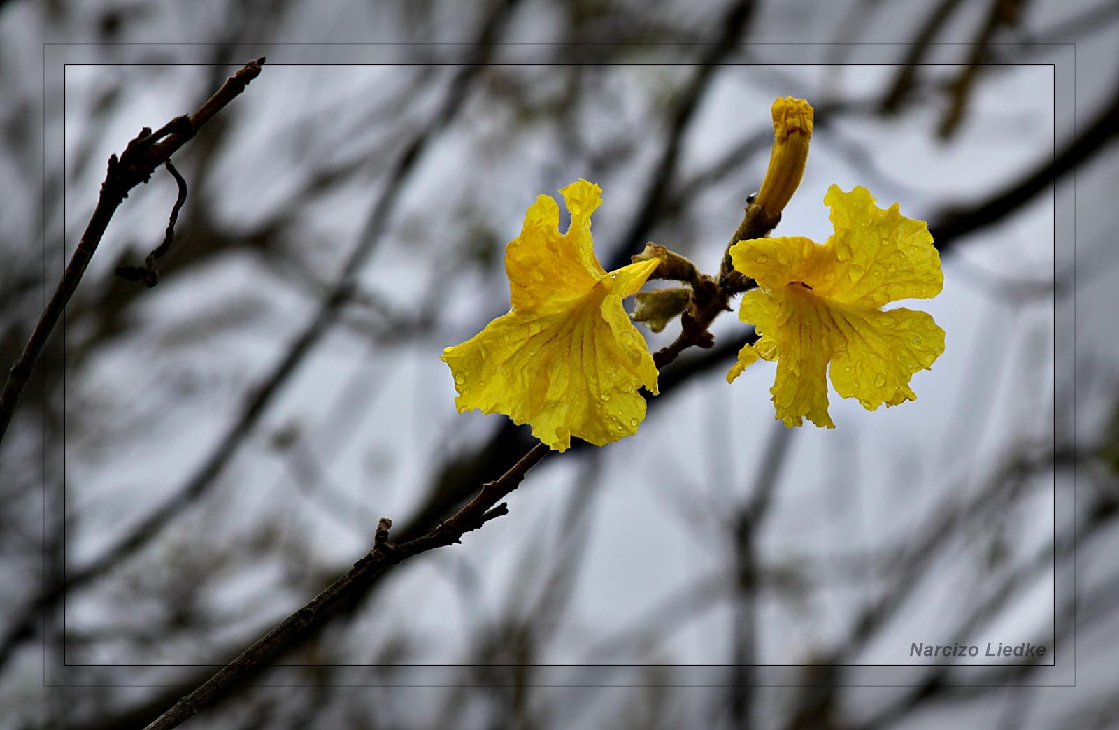 Ipê Amarelo II