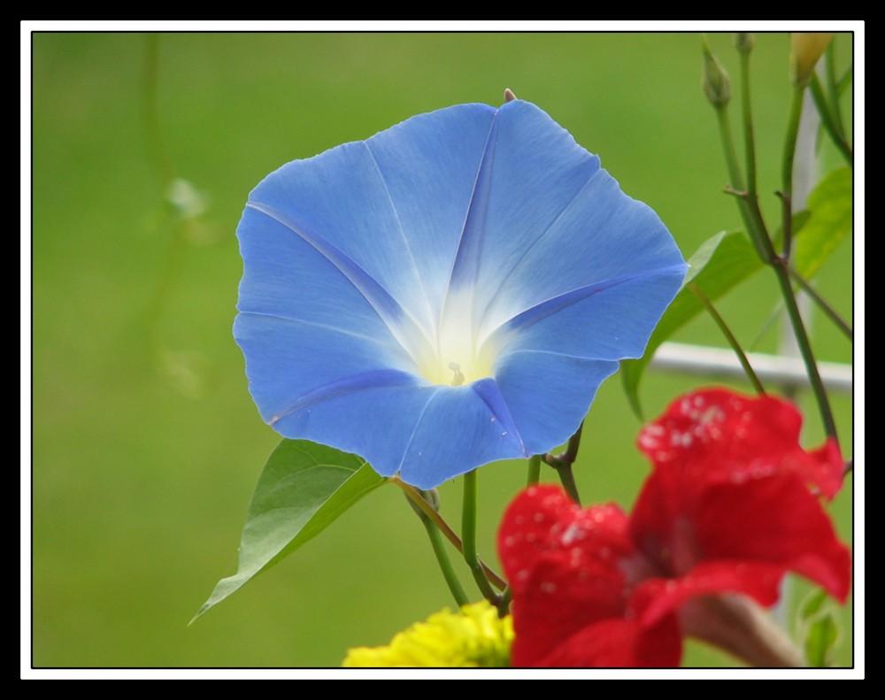 ipomée bleue