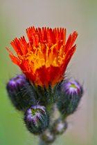 Irgend eine Asteraceae
