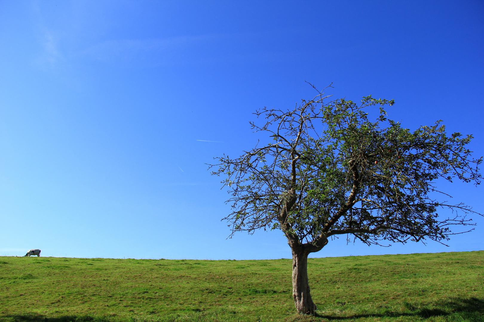 Irgendwo in der Eifel - Apfelbäumchen mit Kuh