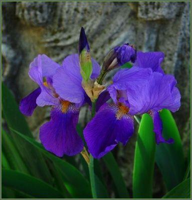 Iridaceae germanica