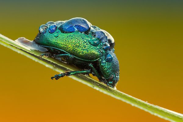Iridescent (Chrysolina Herbacea)
