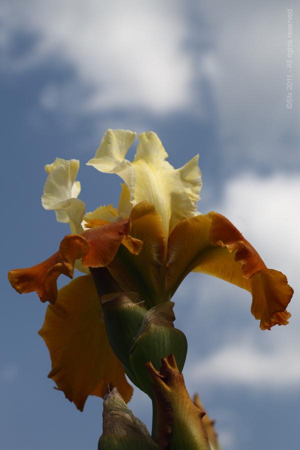 ...Iris 2011 (C) - Directement chez le Producteur...