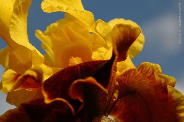...Iris 2011 (D) - Directement chez le Producteur...