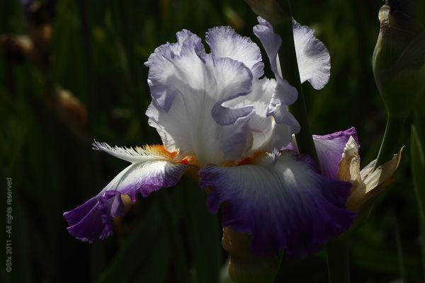 ...Iris 2011 (E) - Directement chez le Producteur...
