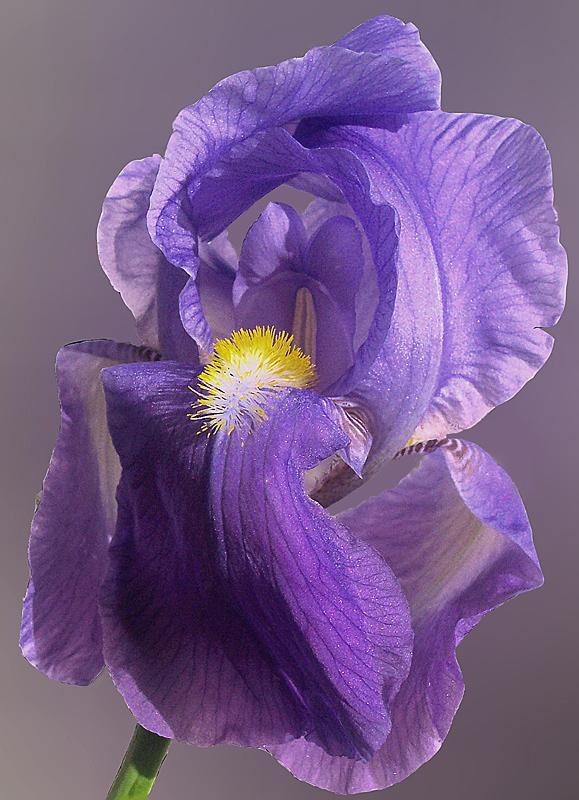 -----iris-----
