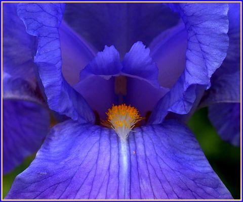Iris à coeur ouvert....