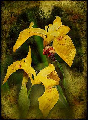 Iris amarillo