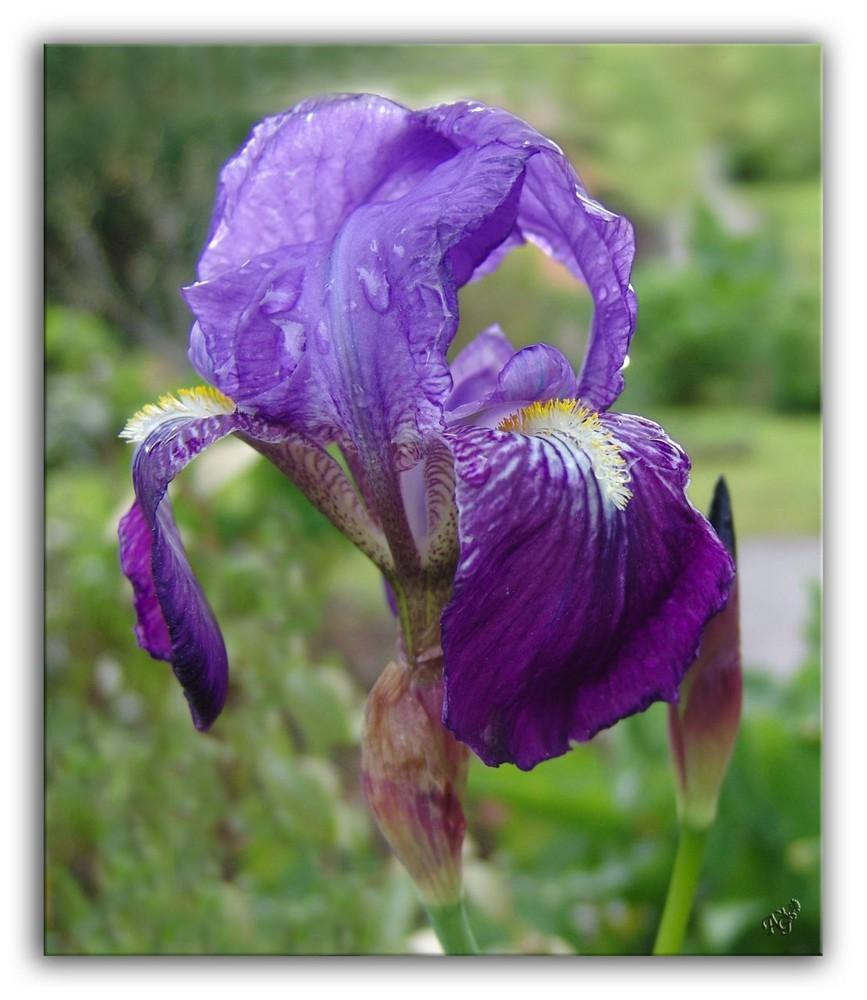 iris ..... après l'averse