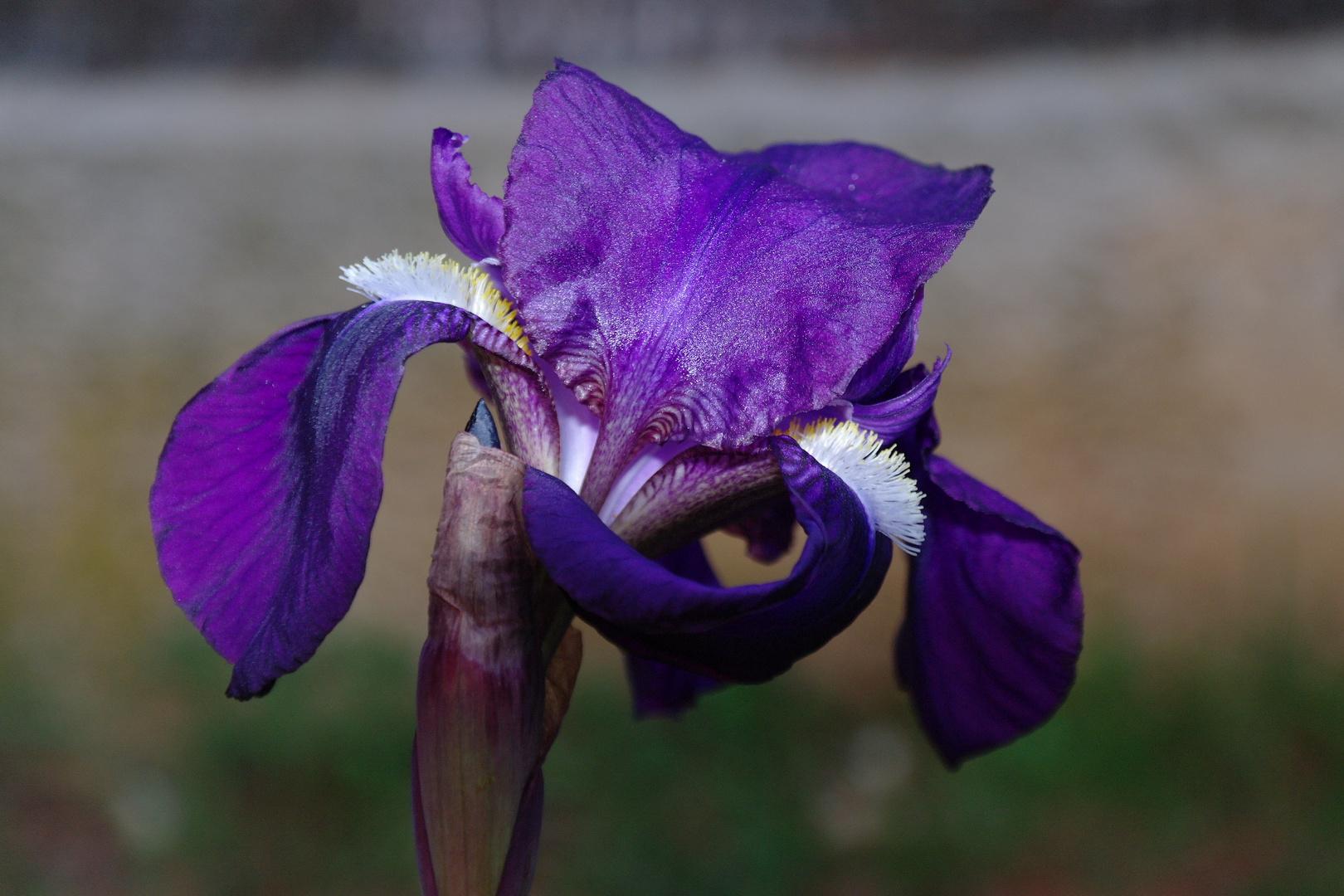 Iris au lever du solei