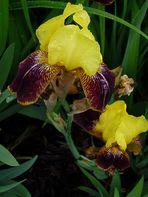 Iris barbata -  Kupferhammer?