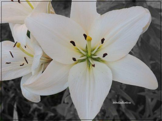 iris blanche