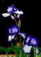 Iris Bleues Panachées