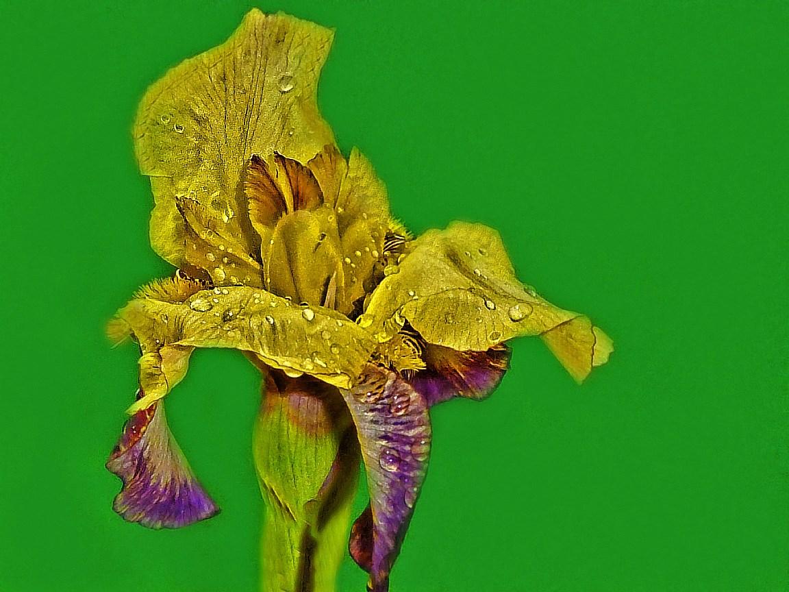 Iris-Blüte