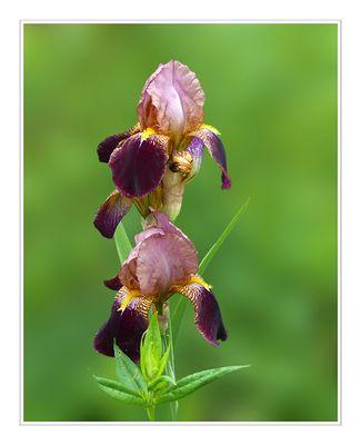 Iris - Braune Schwertlilie