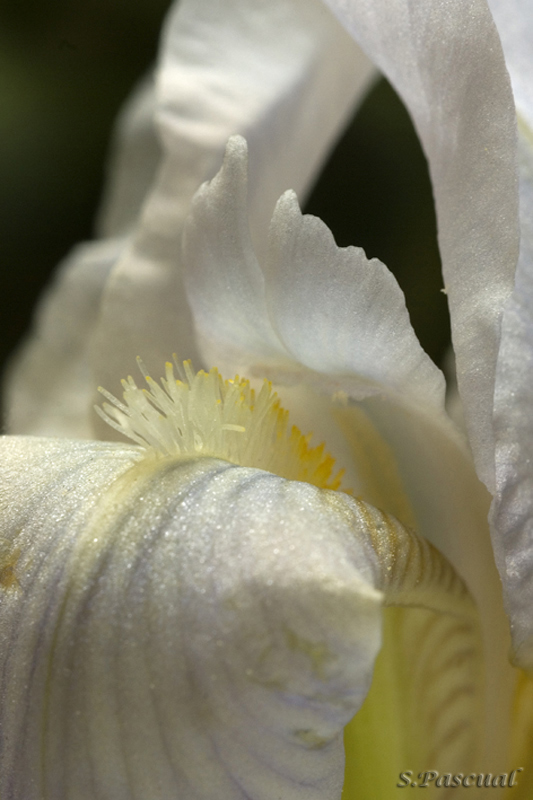 Iris chamaeiris
