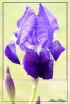 Iris crépusculaire