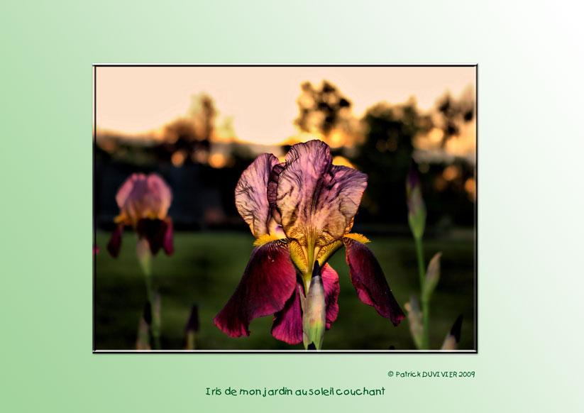 Iris de mon jardin, Iris from my garden
