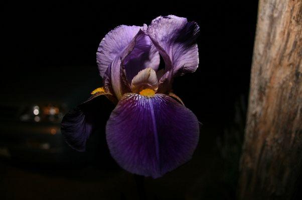 iris de nuit